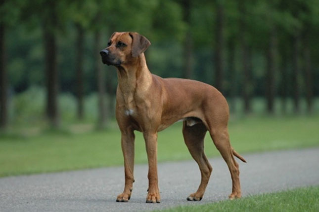 Rhodesian Ridgeback Puppies for Sale from Reputable Dog Breeders