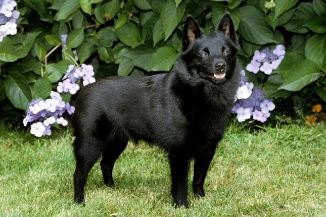 Puppy Dog Breed Schipperke