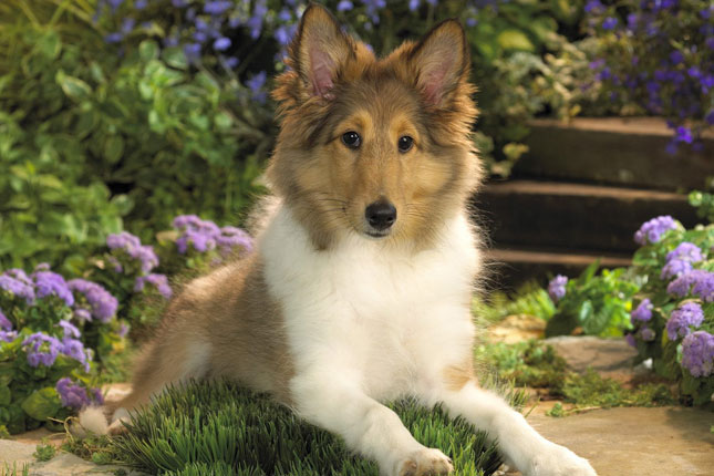 Shetland Sheepdog - Sheltie Puppies for Sale from Reputable Dog ...