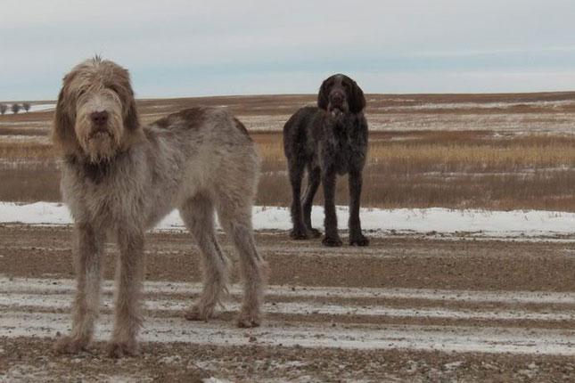 Spinone Italiano