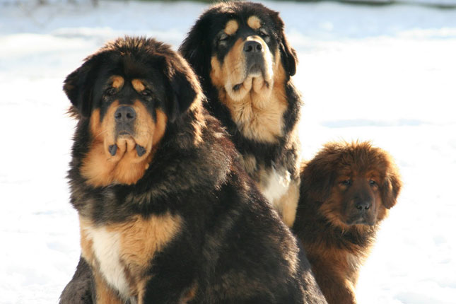Tibetan Mastiff Puppies for Sale from Reputable Dog Breeders