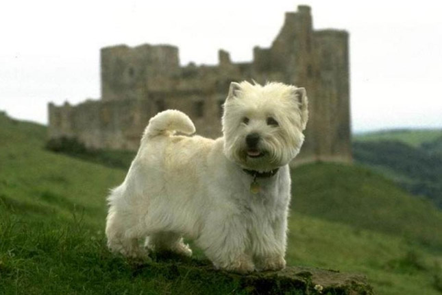 West Highland White Terrier - Westie