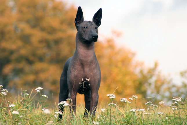 Xoloitzcuintli Puppies for Sale from Reputable Dog Breeders