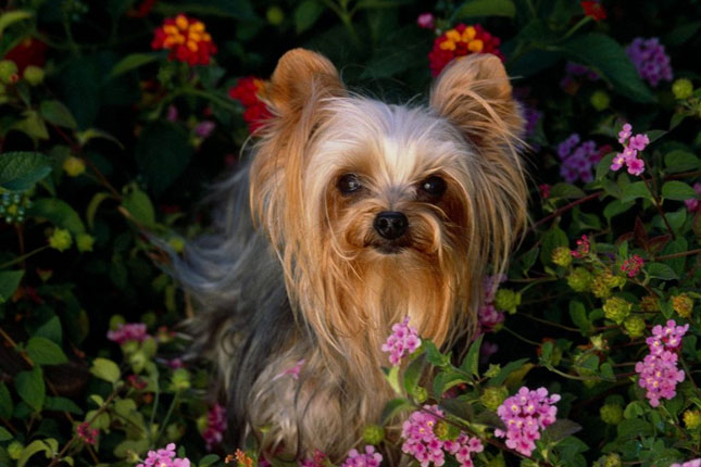 Yorkshire Terrier - Yorkie