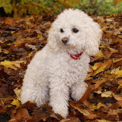 Miniature Poodle Puppies For Sale From Reputable Dog Breeders