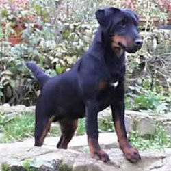 Hunt Terrier Puppies For Sale From Reputable Dog Breeders