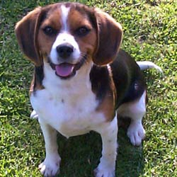 Beaglier Puppies For Sale From Reputable Dog Breeders