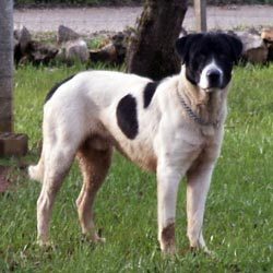 Rafeiro Do Alentejo Puppies For Sale From Reputable Dog