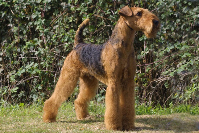airedale terrier breeders airedale terrier puppies for sale from reputable dog breeders 652