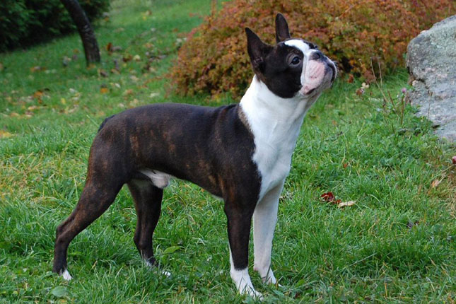 Boston Terrier Puppies for Sale from Reputable Dog Breeders
