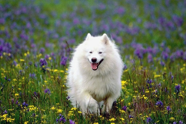Eskimo Dog Puppies For Sale From Reputable Dog Breeders