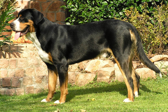 Greater Swiss Mountain Dog Puppies for Sale from Reputable ...