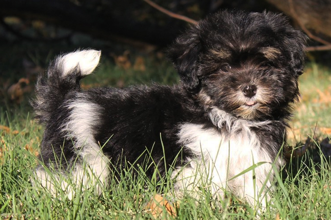 Havanese Puppies For Sale From Reputable Dog Breeders