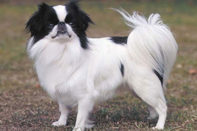 Japanese Chin Puppies for Sale from Reputable Dog Breeders
