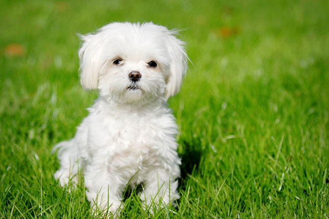 Maltese Puppies for Sale from Reputable Dog Breeders