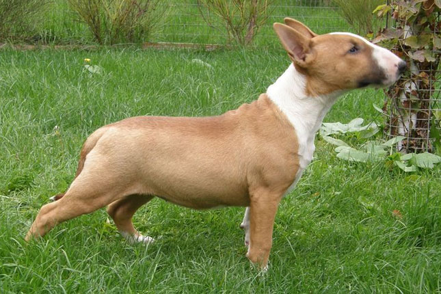Miniature Bull Terrier Puppies For Sale From Reputable Dog
