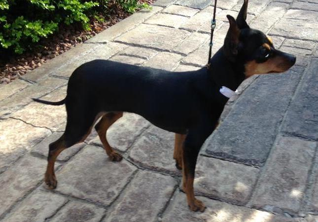 Prague Ratter Puppies For Sale From Reputable Dog Breeders