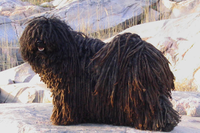 Puli Puppies for Sale from Reputable Dog Breeders